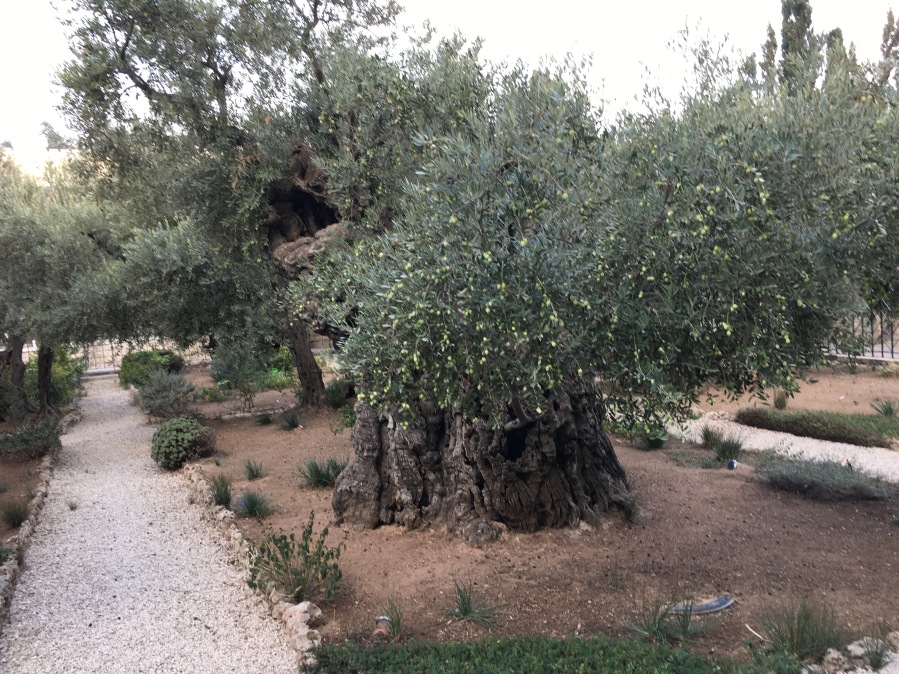 Extremely old olive trees in Gethesemane